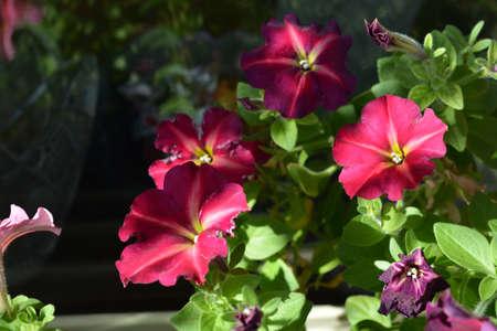 Beautiful petunia flowers are blooming in spring 版權商用圖片