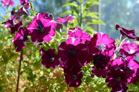 Bright petunia with many flowers in sunny day 版權商用圖片