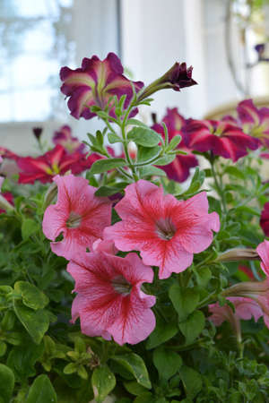 Deep pink-red flowers of petunia in balcony greening. 版權商用圖片