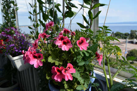 Small urban garden on the balcony. Blooming pelargonium grandiflorum, tomato and other plants grow in pots and containers. 版權商用圖片