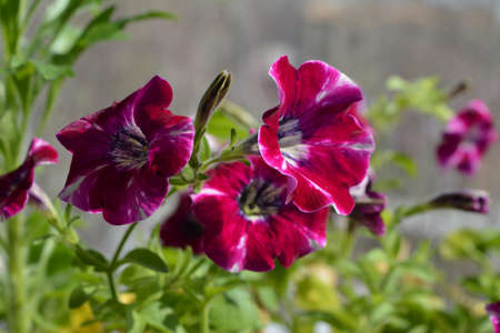 Bright petunias blooming during springtime and last into fall