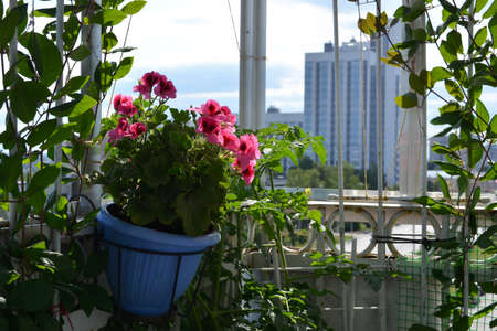 Small urban garden on the balcony. Pink pelargonium grows in pot on the background of city panorama.