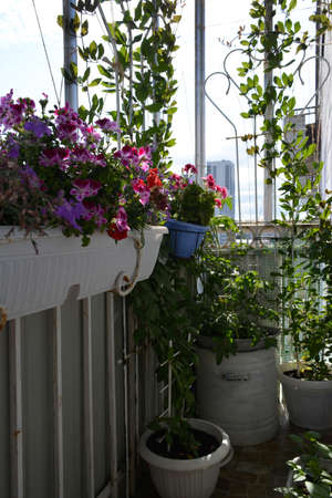 Small urban garden on the balcony with blooming pelargonium, climbed cobaea and tomatoes 版權商用圖片