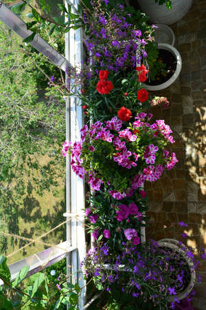 Beautiful garden on the balcony with different colorful flowers in container - lobelia, carnation, pelargonium.