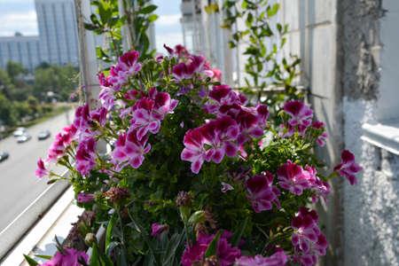 Beautiful vibrant flowers of pelargonium grandiflorum in small urban garden on the balcony 版權商用圖片