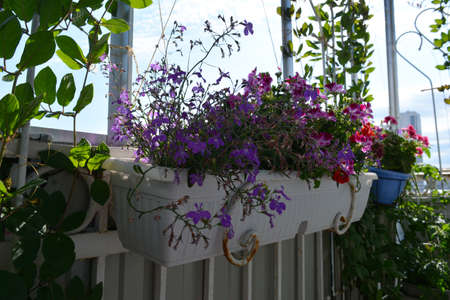 Small urban garden on the open balcony. Container with blooming lobelia and pelargonium hanging from the railing 版權商用圖片