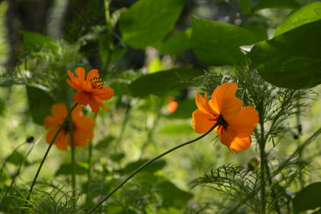 Beautiful orange flowers of Cosmos sulphureus on blurred background of green garden.
