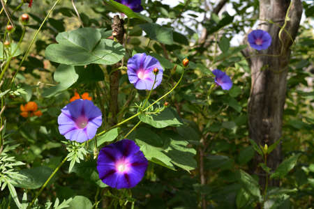 Ipomoea flowers with light and dark violet petals in sunny day.