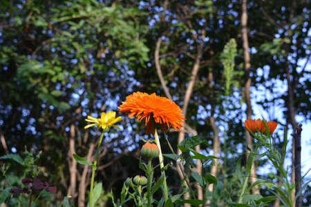 Bright orange and yellow flowers of calendula bloom all summer long