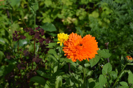 Bright orange marigold flower on the background of lush green garden 版權商用圖片