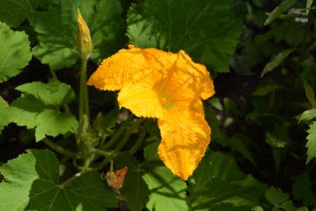 Bright yellow flower of squash. Cucurbita pepo var. patisoniana