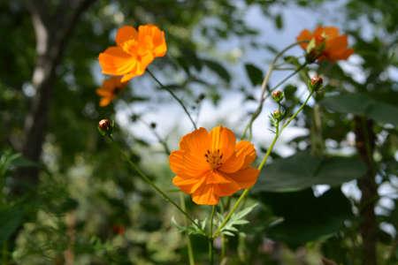 Bright orange cosmos flowers in summer garden. Closeup view