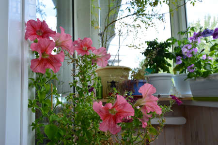 Beautiful garden on the balcony with potted plants. Pink petunia flowers on foreground.