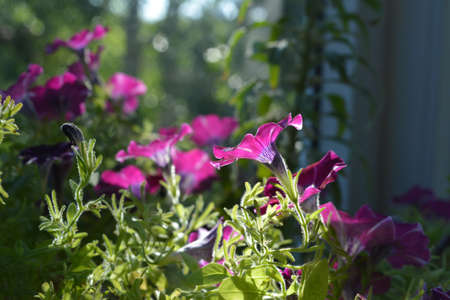 Pink petunia flowers are lighten by the sun in spring