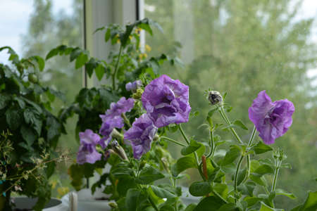 Petunia multiflora double with light violet flowers on the background of tomato plants in small garden on the balcony.