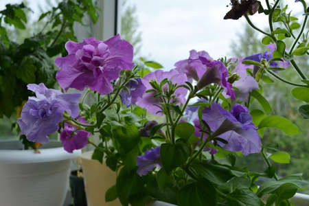 Light violet and purple flowers of petunia multiflora double. Balcony gardening.