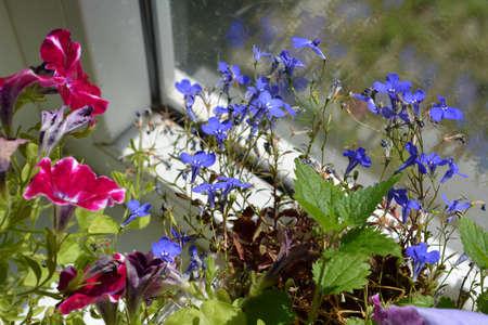 Petunia, lobelia and nettle near the window in small garden on the balcony.