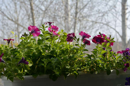 Flowering petunia in container in small garden on the balcony. First flowers in early spring 免版税图像