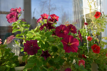 Small garden on the balcony with bright petunia flowers in containers. Home greening.