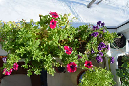 Beautiful container garden on the glass balcony in winter. Petunia flowers inside when it is snow outside. Top view.
