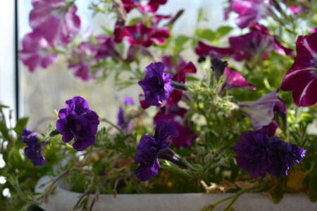 Vibrant purple flowers of petunia double. Balcony greening