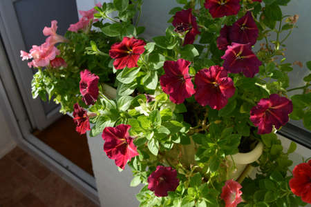 Flowering petunia in spring. Balcony garden with blooming plants in container.