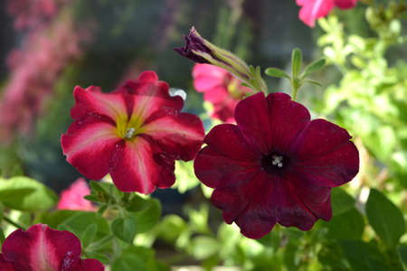 Beautiful vibrant petunia flowers in spring. Closeup view. 免版税图像