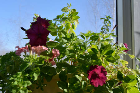 Petunia flowers in sunny spring day. Small container garden on the balcony 免版税图像