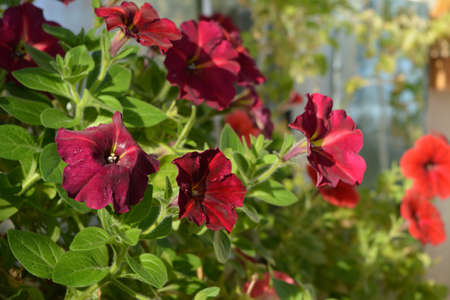 Bright flowering petunia in spring. Small garden on the balcony