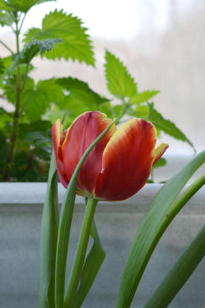 Beautiful tulip flower in small garden on the balcony