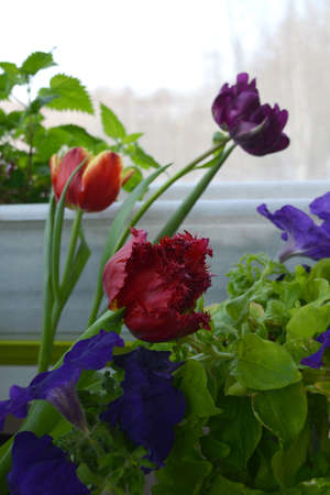 Petunia and tulip flowers in overcast day. Small garden on the balcony in spring