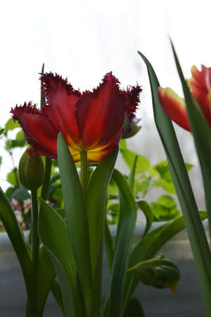 Beautiful red tulip flower in small garden on the balcony 免版税图像 - 158535265