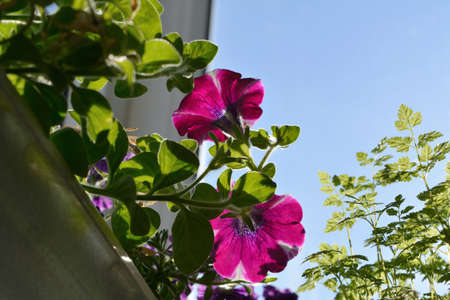 View from below on blooming petunias in container. Small flowering garden on the balcony.
