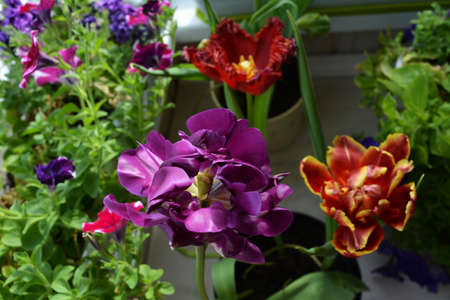 Beautiful purple tulip flower on the background of red tulips and petunias. Small garden on the balcony.