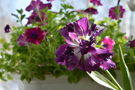 Beautiful purple tulip flower on the background of petunias in small garden on the balcony. Spring sunny day