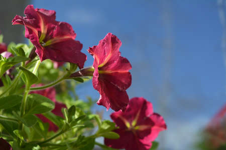 Bright petunia flowers in warm sunny day