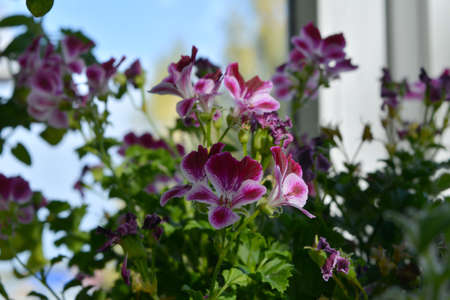 Beautiful pink and white flowers of pelargonium grandiflorum in small garden on the balcony.