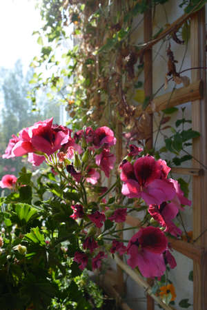 Beautiful pelargonium grandiflorum with pink flowers on the background of trellis with climbed plants in small garden on the balcony.