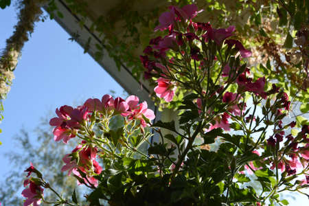View from below on blooming pelargonium grandiflorum with pink flowers in small urban garden on the balcony.