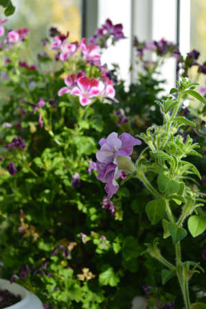 Petunia flower on blurred background with blooming pelargonium. Small garden on the balcony 免版税图像