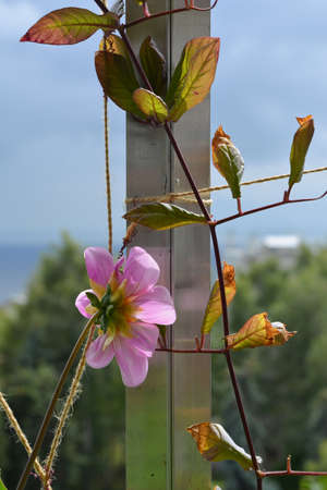 Pink flower of dahlia and branch of cobaea grow in the garden on the balcony 免版税图像