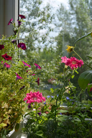 Petunia garden on the balcony. Beautiful flowers grow in pots and containers.