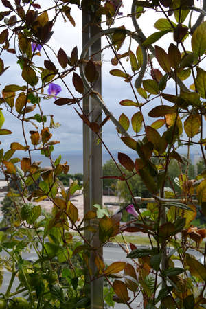 Balcony greening by climbed plants. Beautiful flowers and leaves of ipomoea and cobaea on the background of city street.