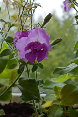 Beautiful flower of petunia multiflora double. Closeup view. 免版税图像
