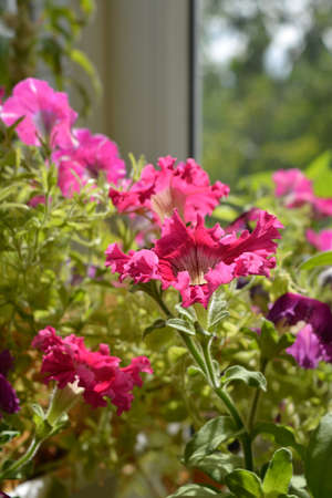 Beautiful pink petunia flowers on blurred background. Warm summer day