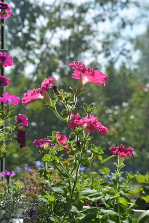 Perfect garden on the balcony with pink petunia flowers