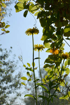 Calendula flowers and cobaea green leaves in balcony greening 免版税图像