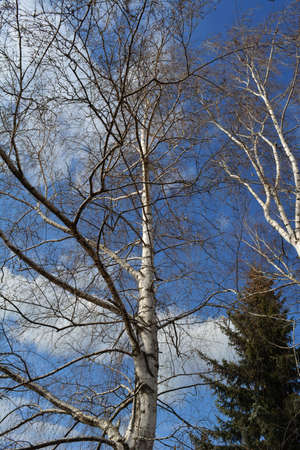 Birch trees and fir on the background of blue sky with white clouds. Early spring landscape 免版税图像