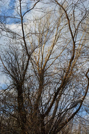 Willow, maple and poplar trees in early spring