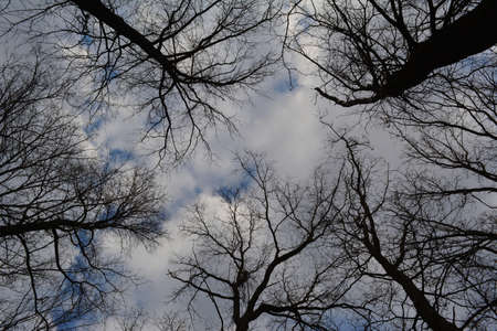 Tree silhouettes in early spring on the background of blue sky with clouds. View from below
